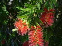callistemon viminalis bottlebrush variety prolific