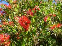 Callistemon viminalis bottlebrush 'Rose Opal'