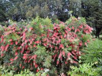 Callistemon bottle brush 'Kings Park Special'