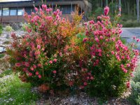 Callistemon bottlebrush 'All Aglow'