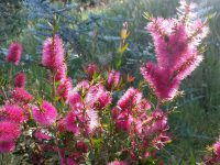 Callistemon 'All Aglow' bottlebrush is great for hedging