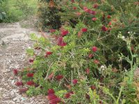 Callistemon bottlebrush 'Burgundy Jack'