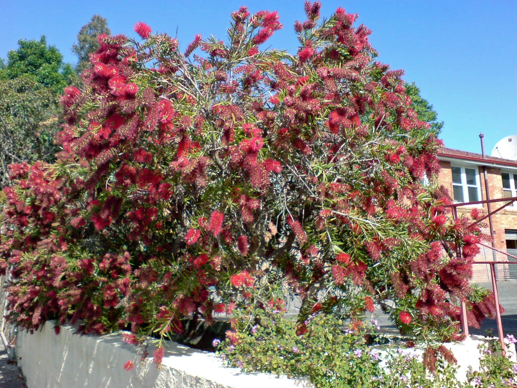 Callistemon bottlebrush 'Captain Cook'