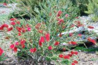 Callistemon bottlebrush 'Cherry Time'