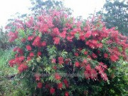 Callistemon bottlebrush 'Dawson River Weeper'