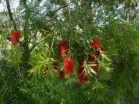 Callistemon bottlebrush 'Edna Walling Scarlet Willow'