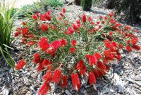 Callistemon bottlebrush 'Fire Brand'