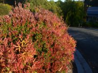 Callistemon 'Great Balls of Fire' is a great hedging plant