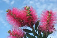 Callistemon bottlebrush 'Hot Pink'