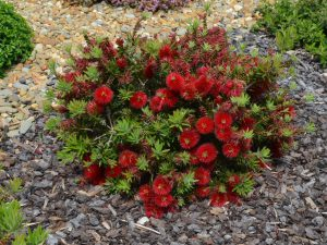 Callistemon bottlebrush 'Matthew Flinders'