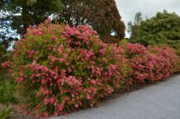 callistemon-salignus_bottlebrush_perth-pink