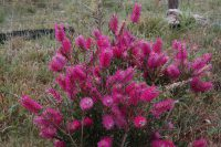 Callistemon bottlebrush 'Purple Splendour'