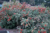 Callistemon bottlebrush 'Spotfire'