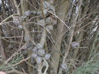 Callitris oblonga - pygmy cypress pine seed pods