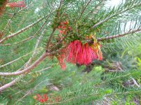 Calothamnus quadrificus - net bush