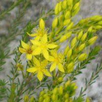 Calytrix flavescens - summer star flower