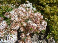 Calytrix tetragona - fringe myrtle with starry flowers