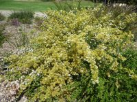 Calytrix tetragona - fringe myrtle