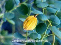 Capparis spinosa nummularia - native caper