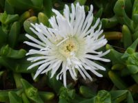 carpobrotus rossii native pigface white hot