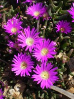 Carpobrotus - native pigface - 'Pink Passion' has edible seed pods