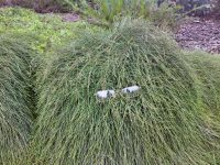 casuarina-glauca_she-oak_cousin-it