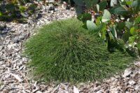 Casuarina glauca - she-oak 'Shagpile'