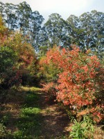 Ceratopetalum gummiferum christmas bush 'Alberys Red'