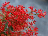 Ceratopetalum gummiferum christmas bush 'Johanna's Christmas'