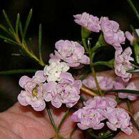 Chamelaucium uncinatum wax-flower 'Dancing Queen'