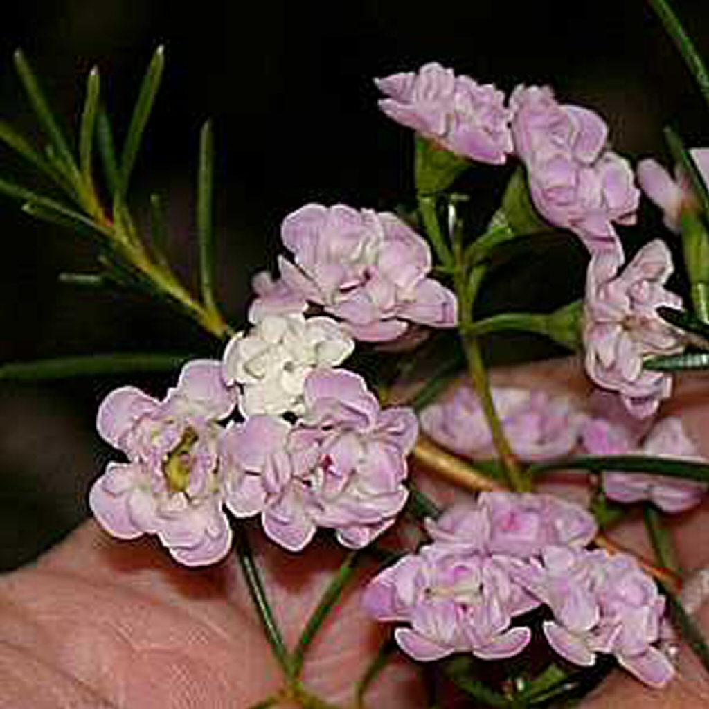 Chamelaucium 'Dancing Queen' Geraldton Wax Flower