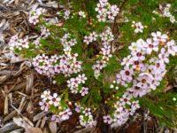 Chamelaucium uncinatum wax-flower 'Lady Stephanie'