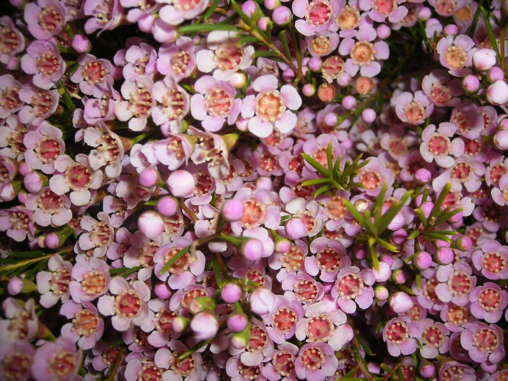 Chamelaucium 'Lady Stephanie' Geraldton Wax Flower
