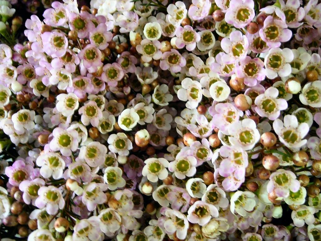 Chamelaucium 'Revelation' Geraldton Wax Flower