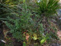 Cheilanthes seiberi - mulga fern