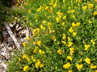 Chrysocephalum apiculatum - common everlasting