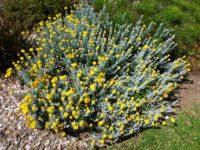 Chrysocephalum apiculatum common everlasting 'Silver and Gold'