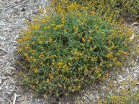 Chrysocephalum apiculatum common everlasting 'Desert Orange'
