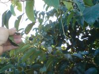 Cissus antarctica - kangaroo vine has blue black fruit or berries