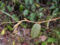 Cissus antarctica - kangaroo vine