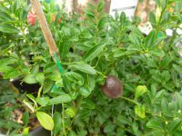 Citrus australasica Red Centre Lime'
