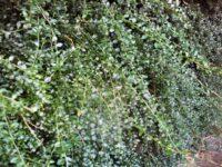 Citrus australasica - finger lime is a great bush tucker plant