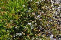 Conospermum caeruleum - smoke bush