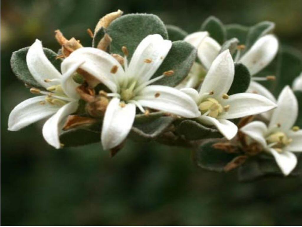 Correa Alba Star Showers Native Fuchsia Gardening