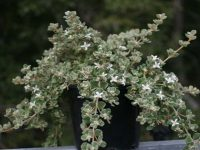 Correa alba 'Star Showers' is a great hardy australian native groundcover