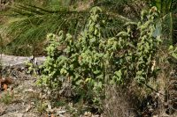 Correa reflexa - wild fuchsia