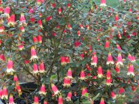 Correa wild fuchsia 'Canberra Bells'