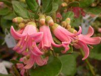 Correa wild-fuchsia 'Catie Bec'
