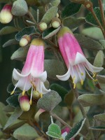 correa pulchella wild fuchsia ice maiden