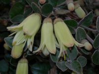correa wild fuchsia lemon twist